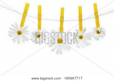 Clothespins on the rope hangs daisies white background.