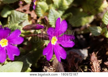 Flower of the garden primrose Primula pruhoniciana