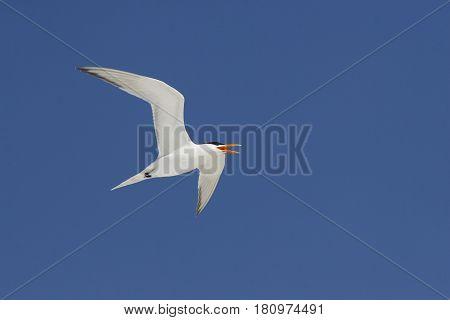 A Royal Tern in flight on the Gulf Coast of Florida