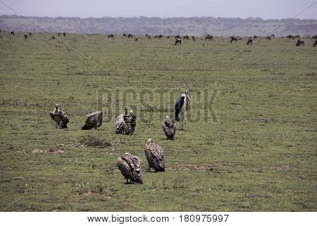 Vultures At Kill Site In Serengeti, Tanzania