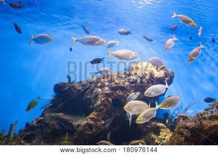 School of Tuna Fish
