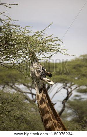 Profile Of Giraffe Feeding In Serengeti, Tanzania