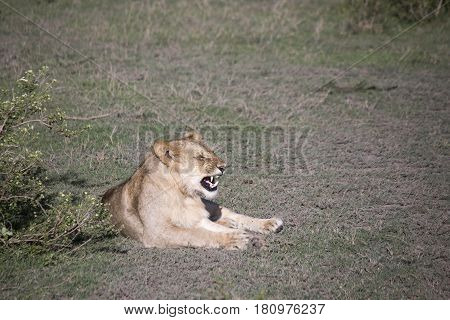 Portrait Of  Lion Growling In Serengeti, Serengeti