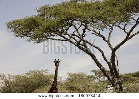Giraffe Portrait Standing  In Serengeti, Tanzania