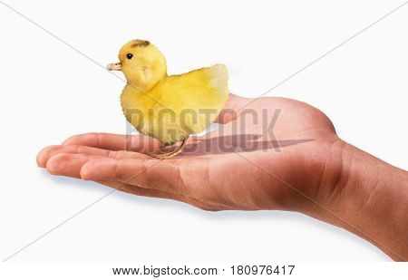 Little baby ducky in palm of hand.