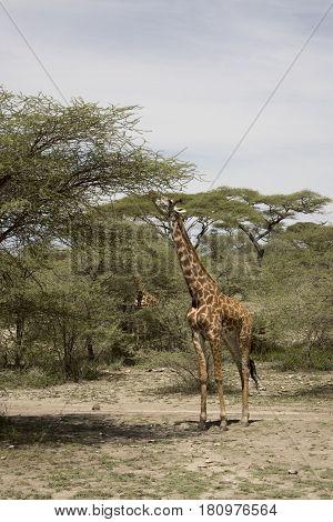 Giraffe Feeding In Serengeti, Tanzania