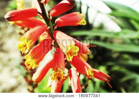 Aloe Vera Plant Flowers Close Up High Quality