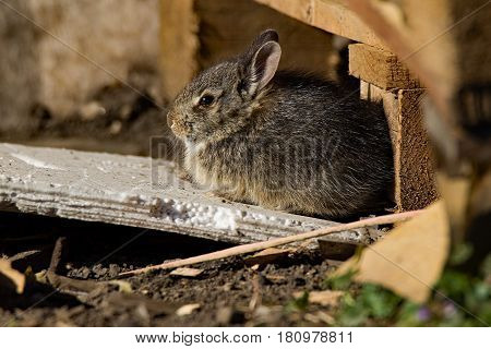 A young Eastern Cottontail Rabbit sits in the sun. This species can be seen in both urban and rural areas. This bunny was living in a pile of pallets behind a store.