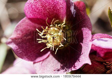 Macro photo of a hellebore flower of the species Helleborus atrorubens