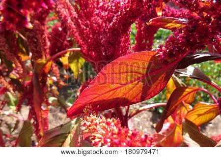 Close-up macro shot of pink red Amaranth flower leaves in vegetable garden