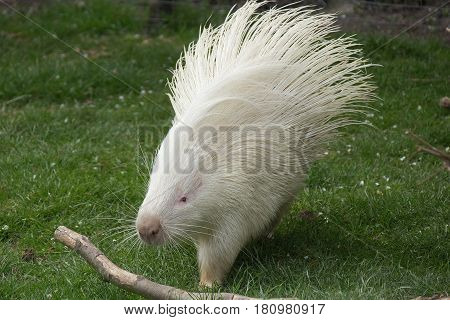 White variation of an african crested porcupine