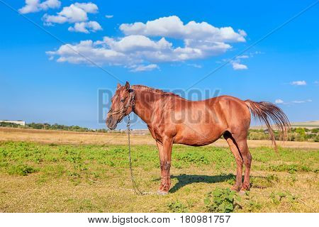 graceful red horse standing on the meadow in the summer