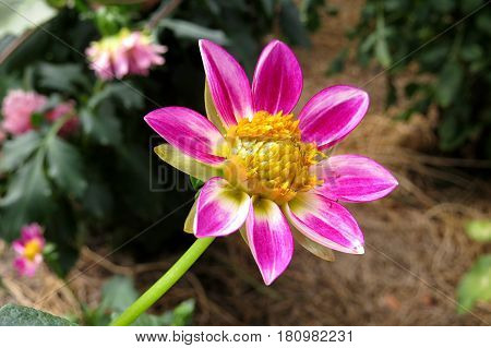 Pink beautiful Dahlia flower blooming in the garden