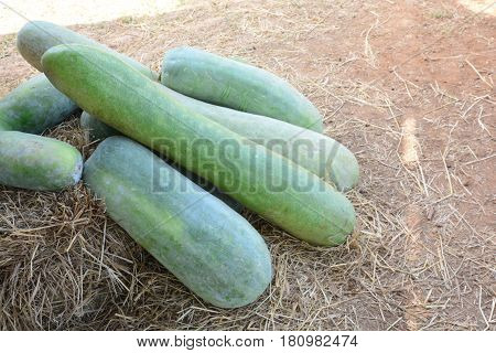 winter melon in vegetable garden , The winter melon, also called ash gourd, white gourd, winter gourd, tallow gourd, and Chinese preserving melon is a vine grown for its very large fruit