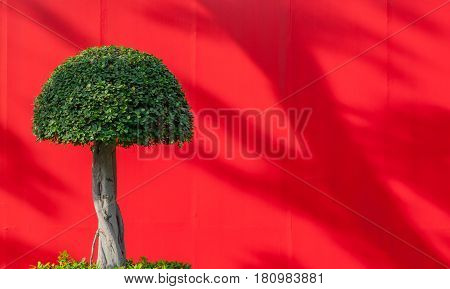 Fancy round shaped tree on the red background with shadows in the park
