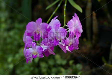 wild purple orchid. branch of violet flowers and green leaves
