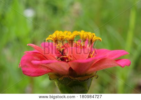 Beautiful pink coral Zinnia flower bloom in a garden bed
