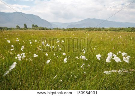 Green meadow with fluffy flowers on background of mountains in fog
