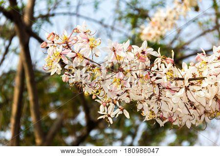 summer flower cherry or prunus cerasoides sakura flower of thailand.