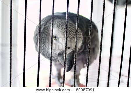 Sad african grey parrot at the cage