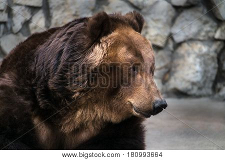 portrait of the sitting brown bear against the background of a stone wall