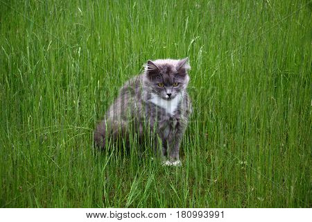 On a lawn among high runaways of a grass the young cat sits.