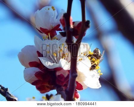 In the spring, when warmer on the branches of the apricot bloom the beautiful flowers blooming