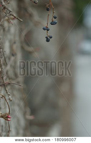 Dry black ash berry hanging of the wall