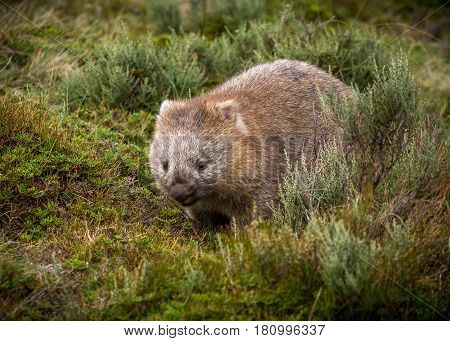 A bare nosed wombat walking through the grass (Vombatus ursinus)