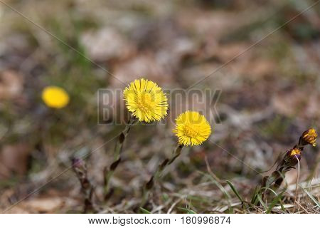 Macro photo of a Coltsfoot flower (Tussilago farfara)