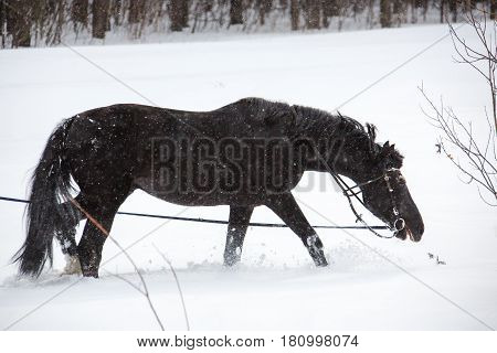 The equine walking on a lunge in winter forest. Horizontal outdoors shot.
