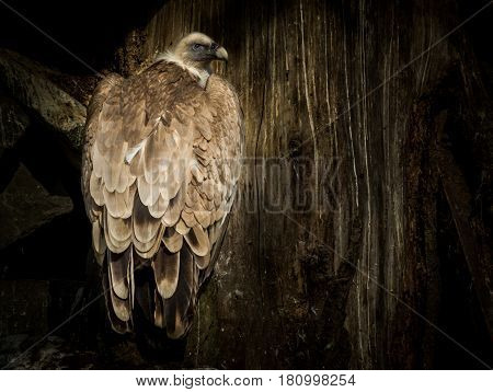 Big Bird Cinereous vulture (Aegypius monachus) on tree and wood background