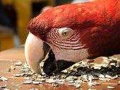 Arara Vermelha da Fauna Brasileira - Amazonia poster