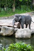Young Asian elephant playing with a log, in the zoo poster