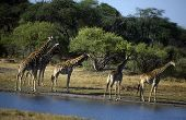 Adult African giraffes near a water source. poster