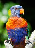 a portrait of a rainbow lorikeet in Australia poster