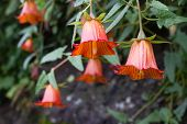 Canarina canariensis orange bell flower. Shadow tolerant plant poster