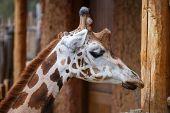 Reticulated giraffe (Giraffa camelopardalis reticulata) also known as the Somali giraffe. poster