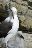 Black-browed albatross on Saunders Island, Falkland Islands poster