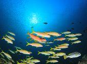 Yellow fish school in blue ocean. Yellowfin Goatfish.  poster