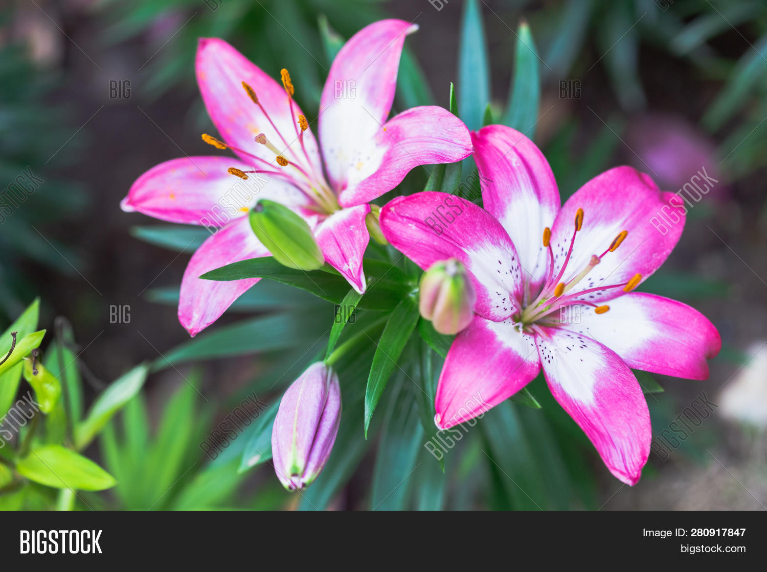 Pink Lily Flower Image Photo Free Trial Stock