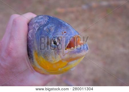 Mans Hand Holding Freshly Caught Piranha Fish With Big Teeth In Mato Grosso, Pantanal, Brazil, South