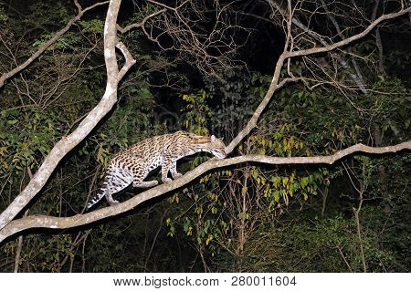 Very Rare Ocelot, Leopardus Pardalis, At Night, Wild Cat Native To The United States, Mexico, Centra