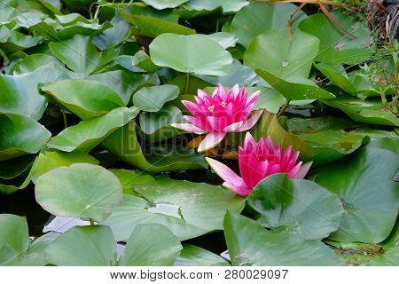 Violet Lotus Flower In Pond. Purple Lily Flower In Artificial Pond Are Blooming. Flowers For The Bud