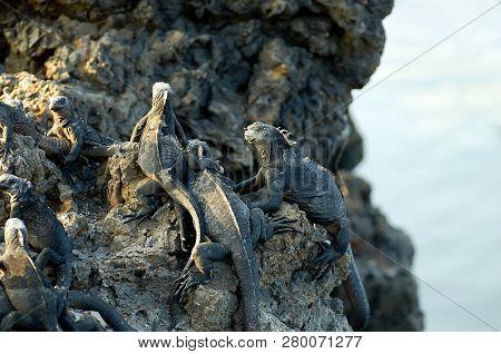 Marine Iguanas - Galapagos Islands - Ecuador