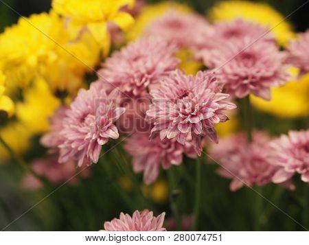Pink Yellow Flower African Daisytransvaal Daisy Gerbera Aurantirca Perennial Herbs Ligulate Anther P