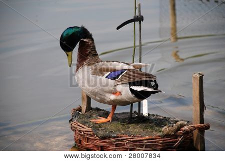 A male Mallard duck standing on an island in a pond at Bedgebury Pinetum in Kent, England.