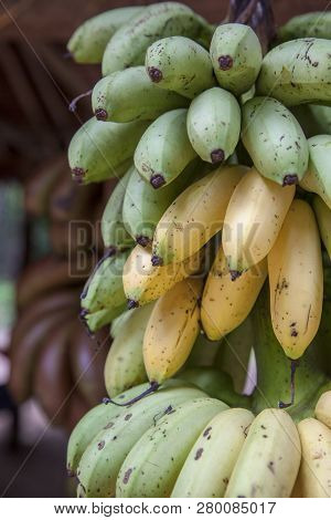 A Cluster Of Ripening Bananas Or Plantains For Sale On A Fruit Stand In Siem Riep, Cambodia.