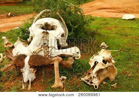 A Group Of Safari Animal Skulls, Including Buffalo And Elephant, On The Ground At A Safari Camp.