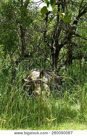 A Rhinoceros Sleeps In The African Bush Camouflaged With Its Surroundings.